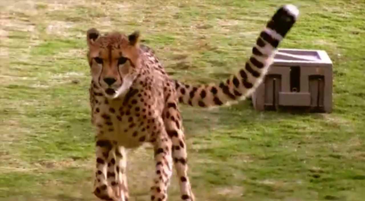 coccodrillo ghepardo