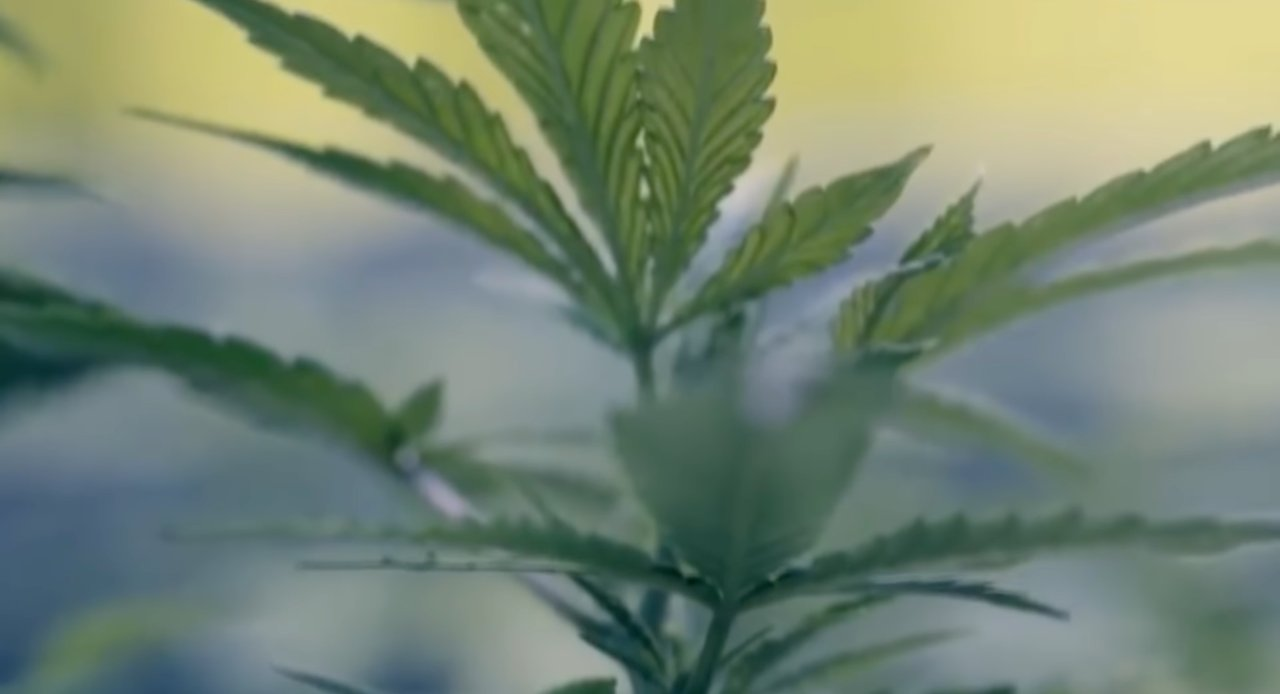 Una pianta di cannabis (screenshot youtube)